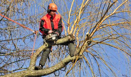 Beskæring af et piletræ